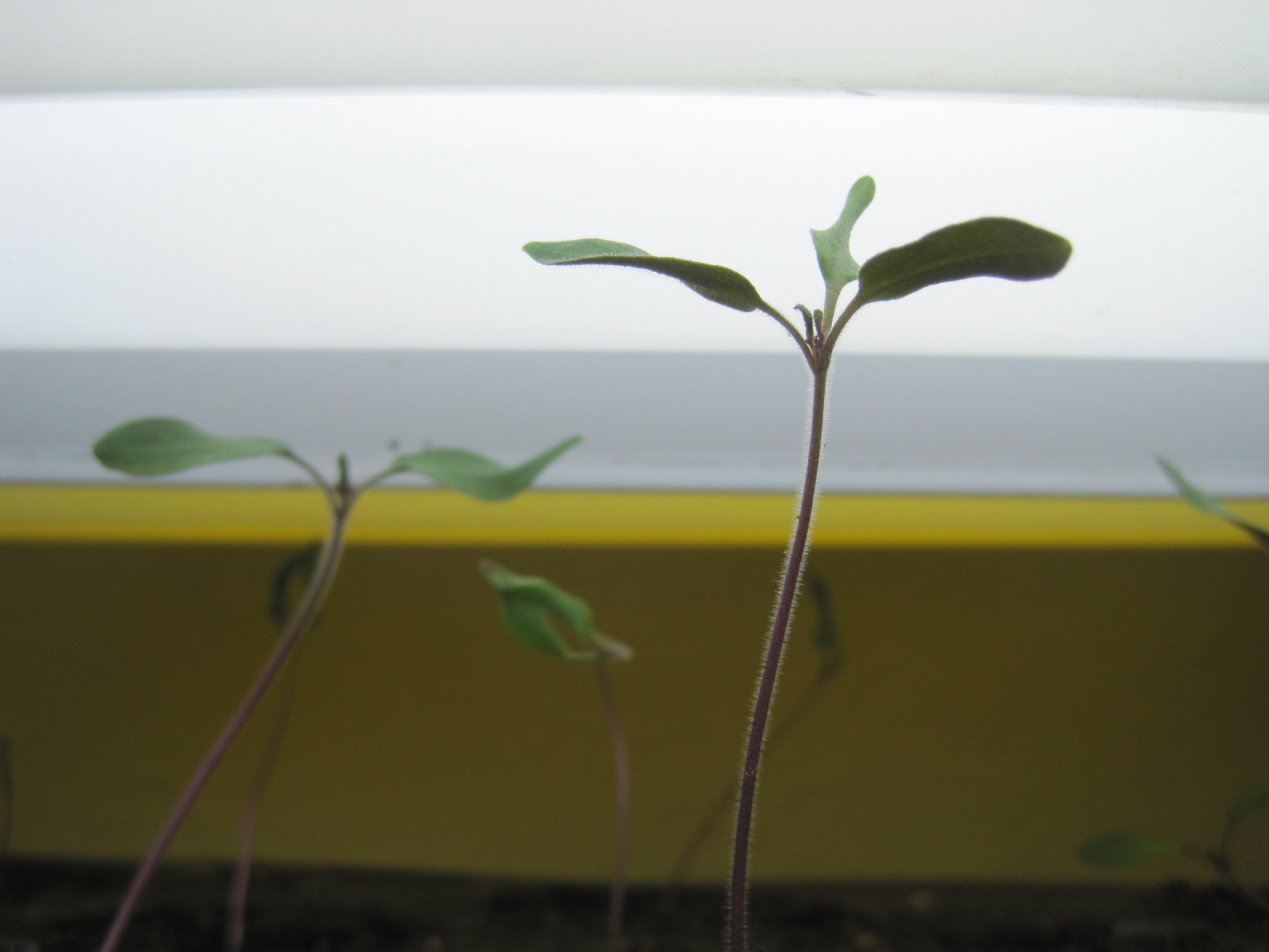 three cotyledons
